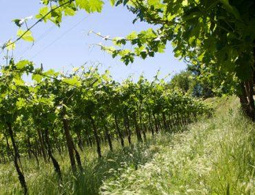 Adalia vini 12