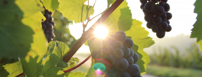 adalia vini