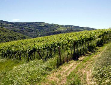 Adalia vini 11