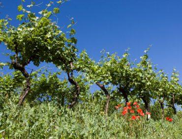 Adalia vini 3