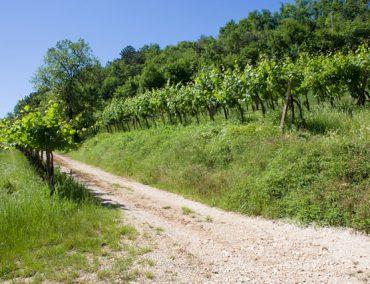 Adalia vini 4