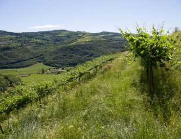 Adalia vini 5